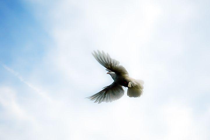 仰天振翅的鴿子