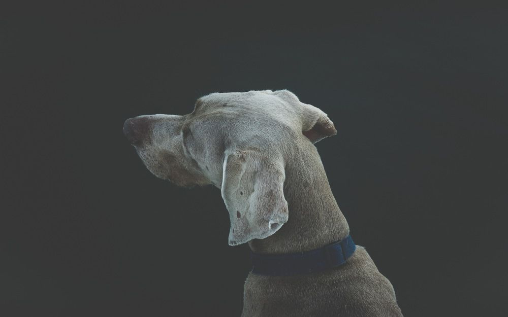 狗狗向左望