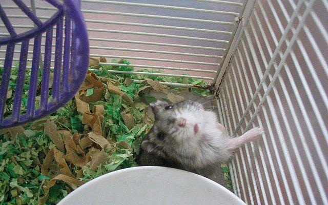 倉鼠經常都是那麼好奇